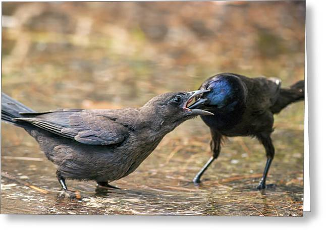 Crow. Bird Music Greeting Cards - Did you get it out Mom Greeting Card by Rocan Bradosty