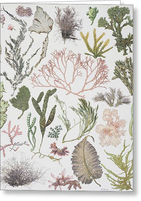 Alga Greeting Cards - Different Strains Of Seaweed. From Greeting Card by Ken Welsh