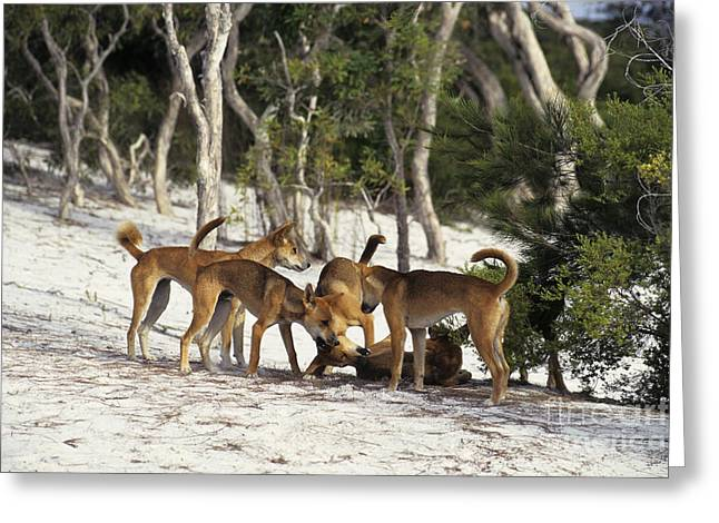 Outsider Photographs Greeting Cards - Dingos Defending Territory Greeting Card by Jean-Louis Klein & Marie-Luce Hubert