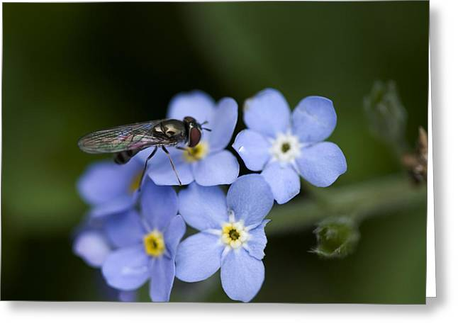 """forget Me Not Flowers"" Greeting Cards - Dining Out Greeting Card by Bonnie Bruno"