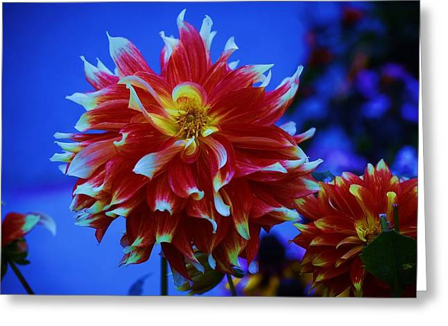 Dinnerplate Dahlias Greeting Cards - Dinnerplate Dahlia Greeting Card by Helen Carson