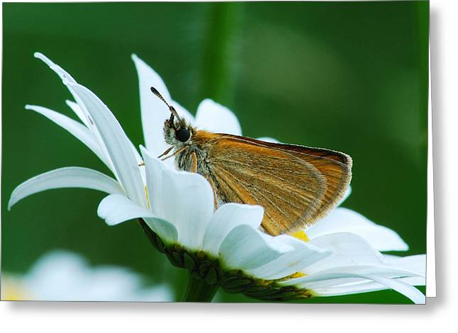Garden Of Daisies Greeting Cards - Dion Skipper in square Greeting Card by Michael Peychich