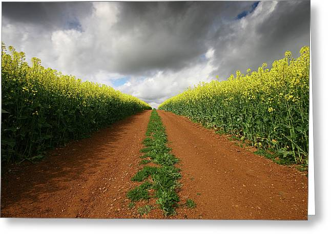 Dirt Track Through Red Soil In A Rapeseed Flower Field Greeting Card by Mark Stokes