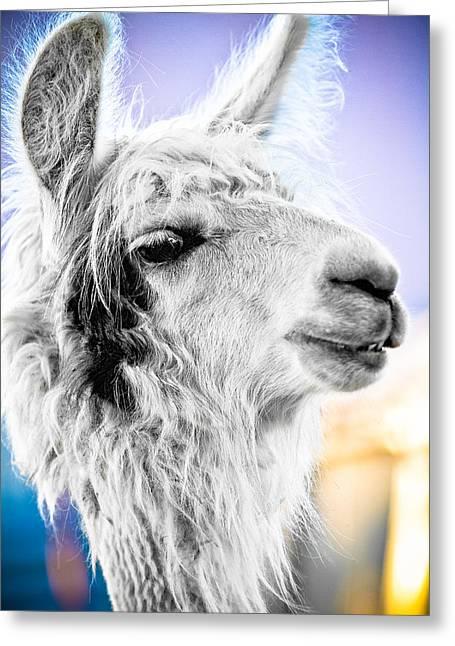 Llama Photographs Greeting Cards - Dirtbag Llama Greeting Card by TC Morgan