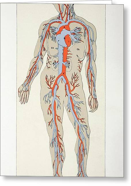 Veins Drawings Greeting Cards - Distribution Of Blood Vessels In The Greeting Card by Ken Welsh