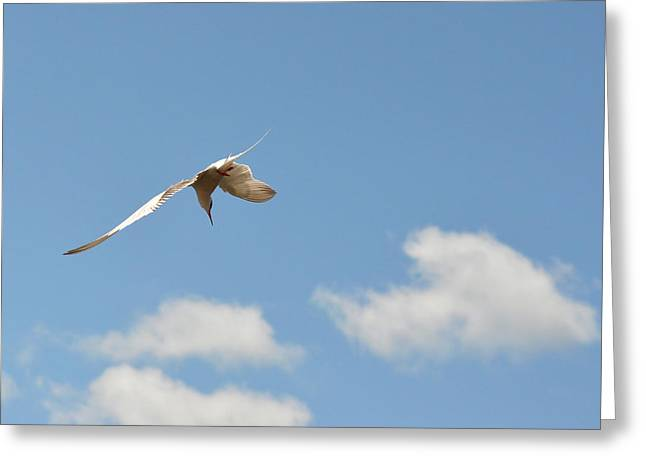 Tern Greeting Cards - Dive, Dive from high Sea Swallow Greeting Card by Asbed Iskedjian