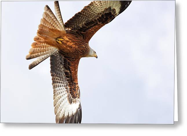 Kite Greeting Cards - Diving bird of prey Greeting Card by Grant Glendinning