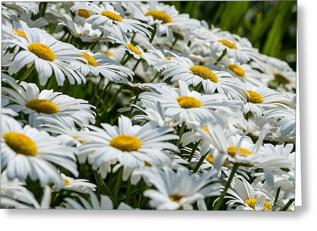 Coloured Greeting Cards - Dizzy with Daisies Greeting Card by Andrew Miles