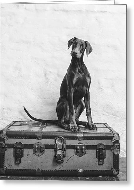 Doberman Pinscher Puppy Greeting Cards - Doberman Pinscher Puppy in black and white Greeting Card by Wolf Shadow  Photography
