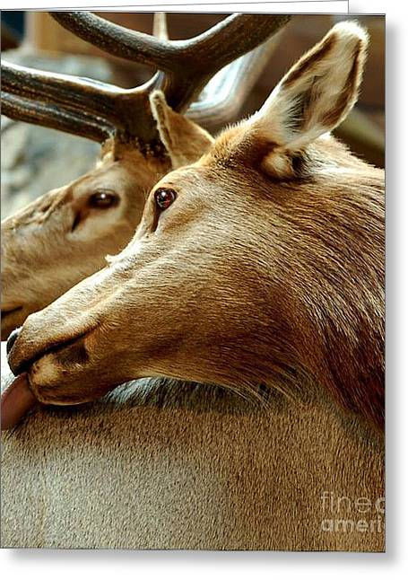 Hunting Trophy Greeting Cards - Doe and Buck Greeting Card by Diane E Berry