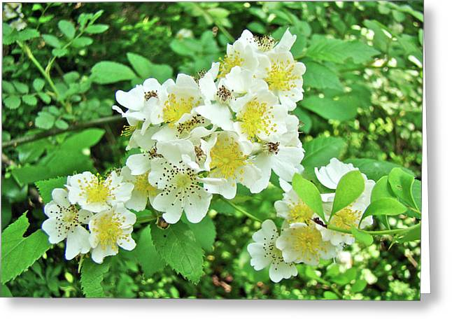 Multiflora Greeting Cards - Dog Rose - Rosa multiflora var. multiflora Greeting Card by Mother Nature