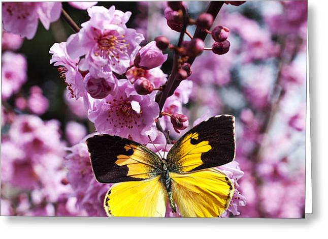 Dogface butterfly in plum tree Greeting Card by Garry Gay