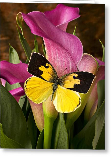 Insect Greeting Cards - Dogface butterfly on pink calla lily  Greeting Card by Garry Gay