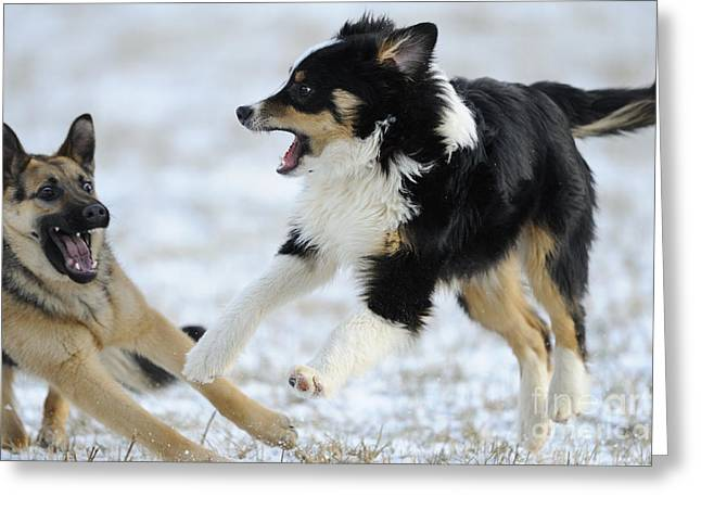 Dogs Playing In Snow Greeting Card by David & Micha Sheldon