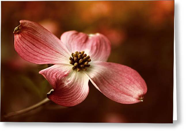 White Blossoms Greeting Cards - Dogwood Blossom Greeting Card by Jessica Jenney