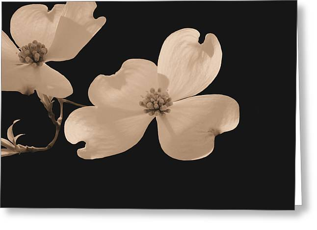 Isolated On Black Greeting Cards - Dogwood Blossoms Sepia Greeting Card by Kristin Elmquist