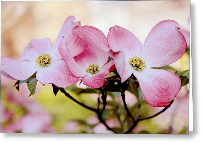 Dogwood Greeting Cards - Dogwood Dance Greeting Card by Jessica Jenney
