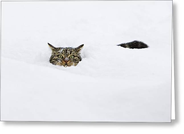 Domestic Cat Greeting Cards - Domestic Cat Felis Catus In Deep Snow Greeting Card by Konrad Wothe
