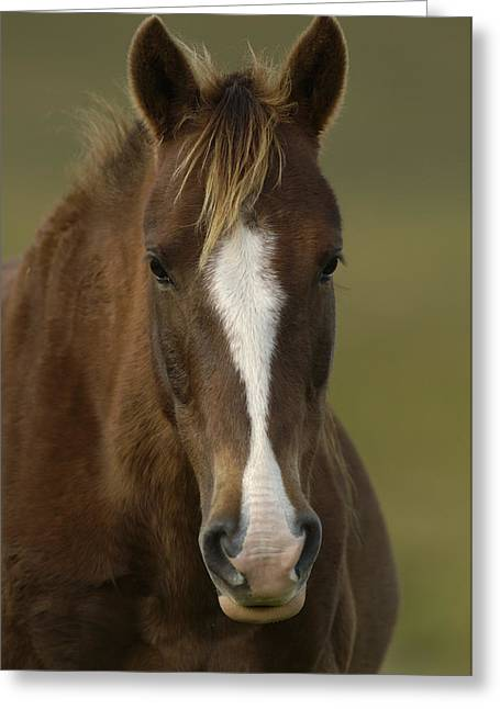 Equidae Greeting Cards - Domestic Horse Equus Caballus Portrait Greeting Card by Pete Oxford