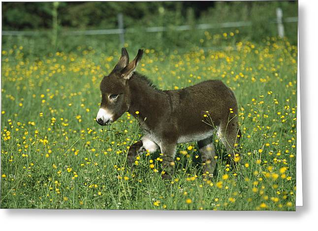 Baby Donkey Greeting Cards - Donkey Equus Asinus Foal In Field Greeting Card by Konrad Wothe