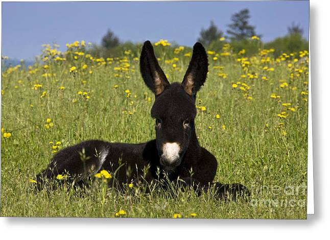 Spring Scenes Greeting Cards - Donkey Foal Resting Greeting Card by Jean-Louis Klein & Marie-Luce Hubert