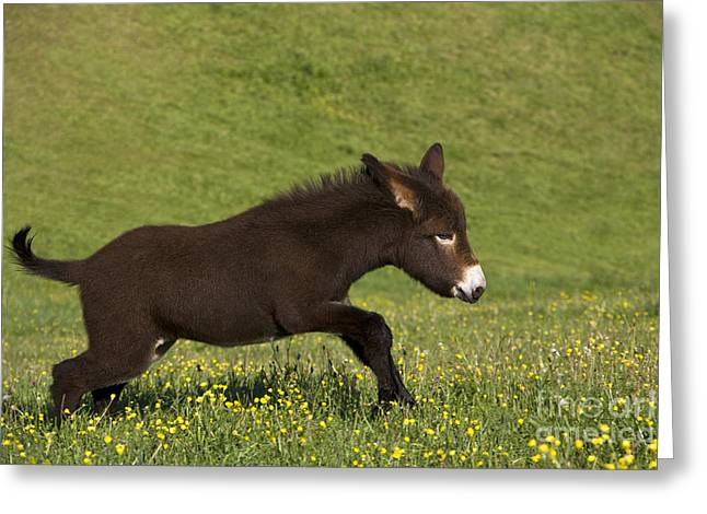 Spring Scenes Greeting Cards - Donkey Foal Running Greeting Card by Jean-Louis Klein & Marie-Luce Hubert