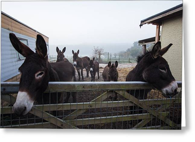 Tough Guys Greeting Cards - Donkeys Greeting Card by Dawn OConnor