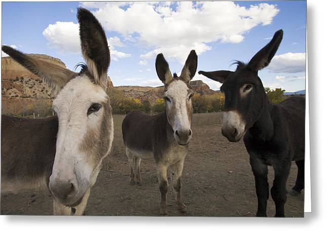 Looking Around Greeting Cards - Donkeys Peer At The Camera In A Desert Greeting Card by Ralph Lee Hopkins