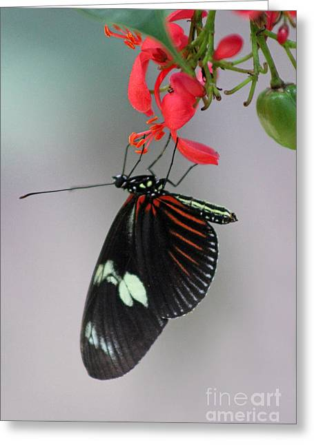 Flying Animal Greeting Cards - Doris Longwing Butterfly Greeting Card by Karen Adams