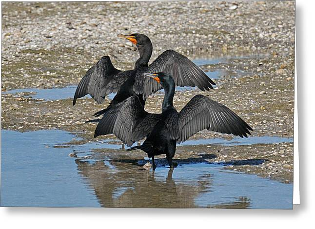 Double-crested Cormorant Greeting Cards - Double Crested Cormorant Pair Greeting Card by Alan Lenk