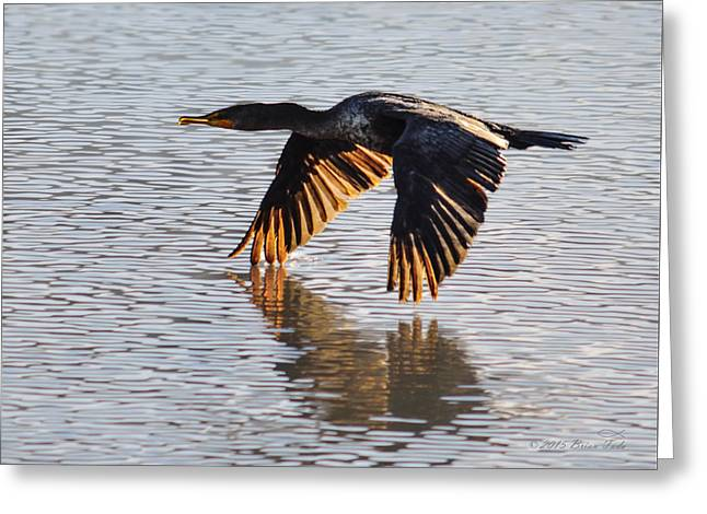 Marin County Greeting Cards - Double Crested Cormorant Taking Flight Greeting Card by Brian Tada
