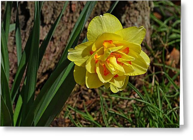 Double Daffodil Greeting Card by Sandy Keeton