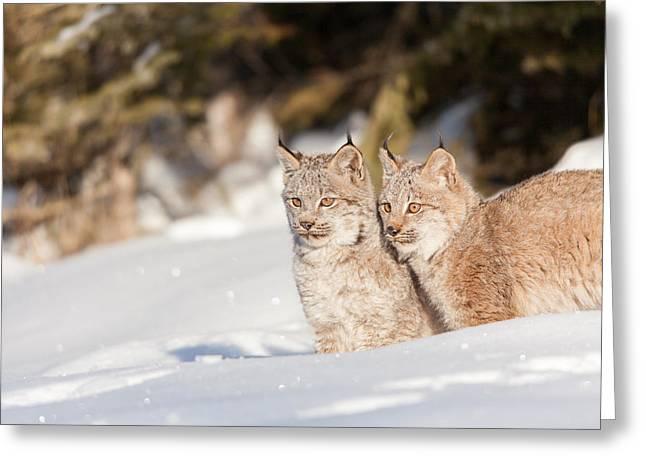 Bobcat Kitten Greeting Cards - Double Take Bobcat Greeting Card by Sandy Brooks