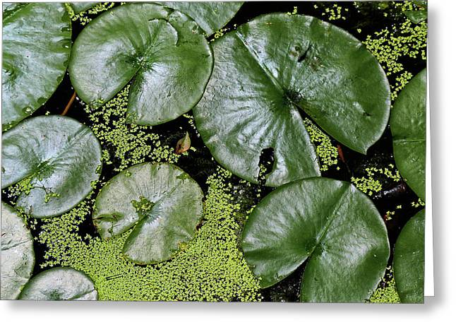 Dow Gardens Lily Pads 4 Greeting Card by Mary Bedy