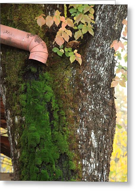 Downspout And Moss Greeting Card by Troy Montemayor