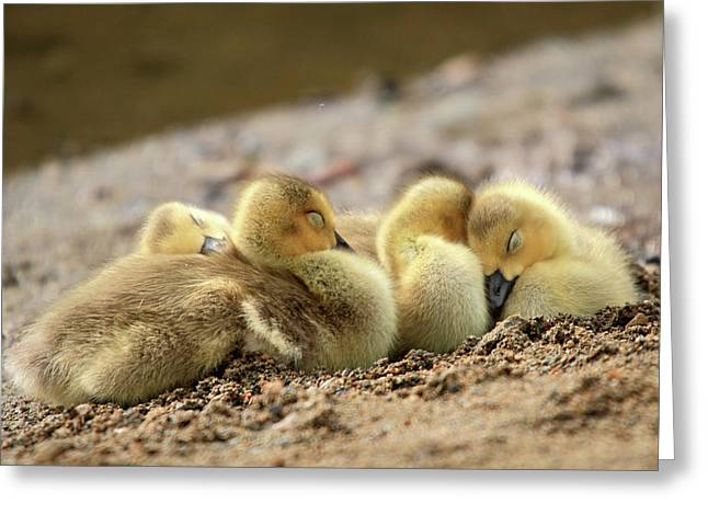 Mile One Greeting Cards - Downy cozy baby geese Greeting Card by Pierre Leclerc Photography
