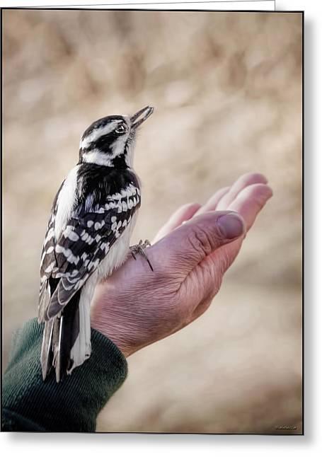 Woodpecker Greeting Cards - Downy Woodpecker in Hand  Greeting Card by LeeAnn McLaneGoetz McLaneGoetzStudioLLCcom