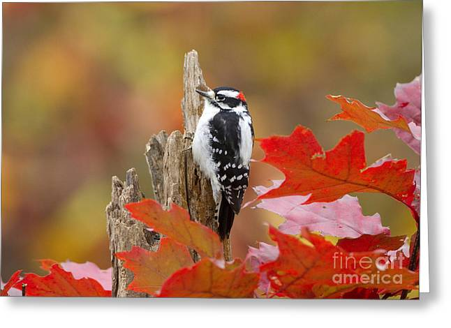 """""""downy Woodpecker"""" Greeting Cards - Downy Woodpecker Male Greeting Card by Marie Read"""