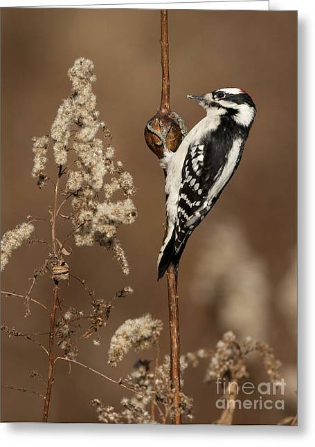 """""""downy Woodpecker"""" Greeting Cards - Downy Woodpecker On Goldenrod Gall Greeting Card by Marie Read"""