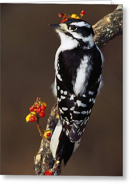 Woodpecker Greeting Cards - Downy Woodpecker On Tree Branch Greeting Card by Panoramic Images