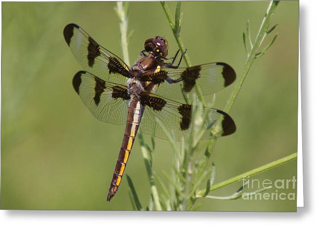 Insect Mixed Media Greeting Cards - Dragon Fly Greeting Card by Robert Pearson