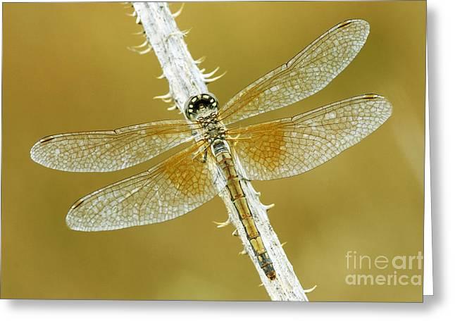 Dragonflies Photographs Greeting Cards - Dragon Wings Greeting Card by John Blumenkamp