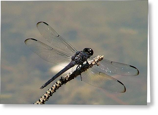 Dragonfly Black Greeting Card by Lisa Stanley