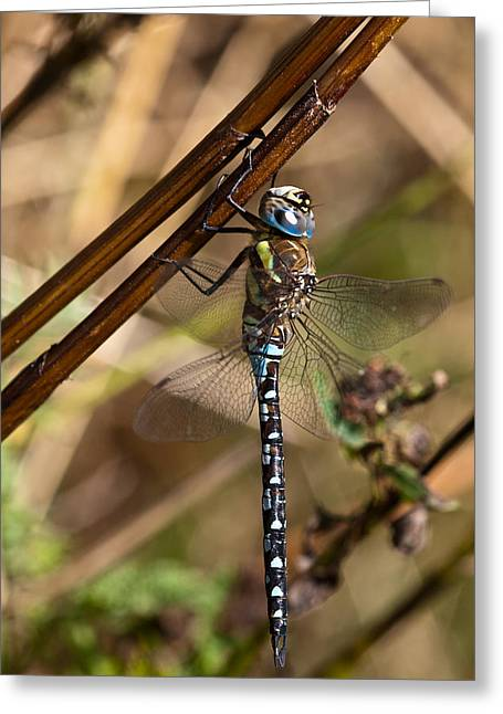 Dragon Fly Greeting Cards - Dragonfly Greeting Card by Gert Lavsen