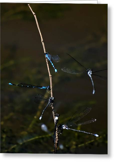 Duke Island Park Greeting Cards - Dragonfly Hotel Greeting Card by Warren M Gray