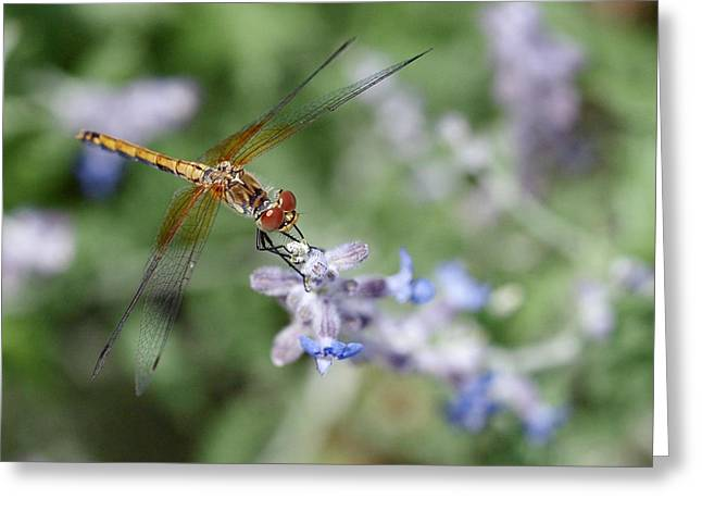 Dragonfly In The Lavender Garden Greeting Card by Rona Black