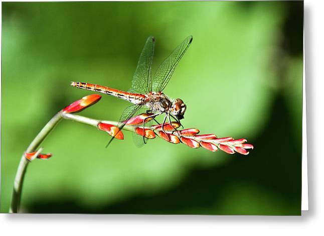 Floral Photographs Pyrography Greeting Cards - Dragonfly  Greeting Card by Svetlana Batalina