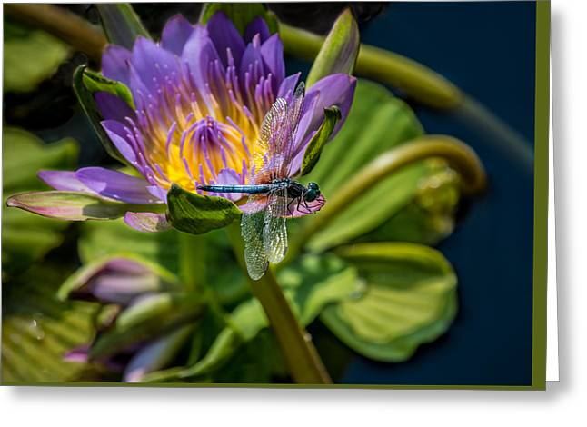 Aquatic Greeting Cards - Dragonfly on Water Lily Greeting Card by Fiona Craig