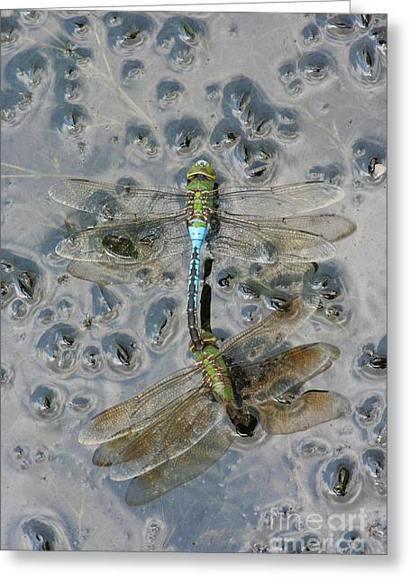 Green Darner Dragonflies Greeting Cards - Dragonfly Reflections Greeting Card by Judy Whitton