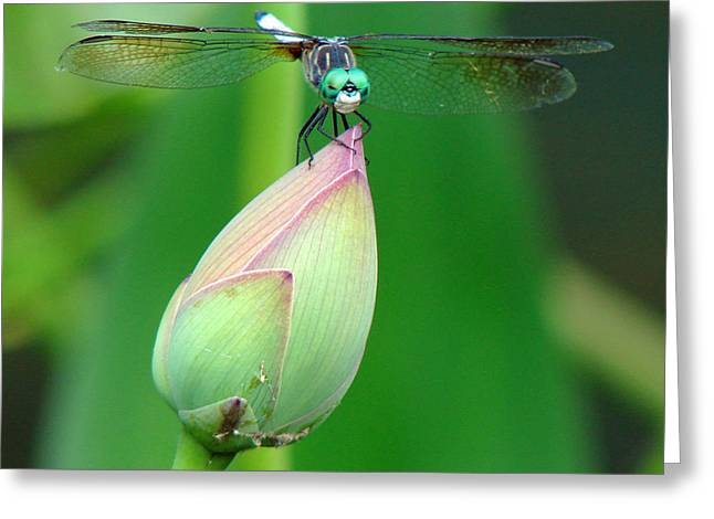 Dragonflies Greeting Cards - Dragonfly VA 1 Greeting Card by Diana Douglass